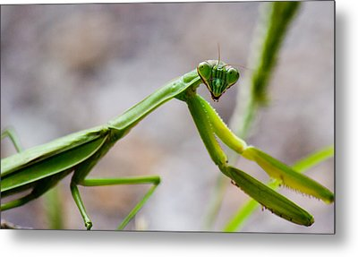 Praying Mantis Looking Metal Print