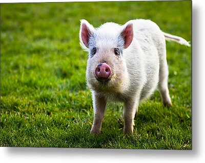 Precocious Piglet Metal Print by Justin Albrecht