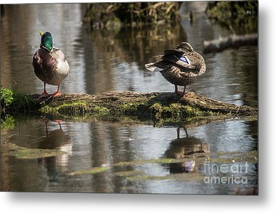 Metal Print featuring the photograph Preening Ducks by David Bearden