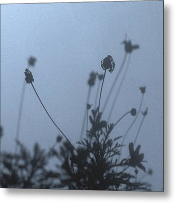 Pressed Daisy Bush Blue Metal Print