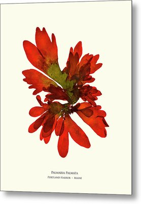 Pressed Seaweed Print, Palmaria Palmata, Portland Harbor, Maine.  #28 Metal Print