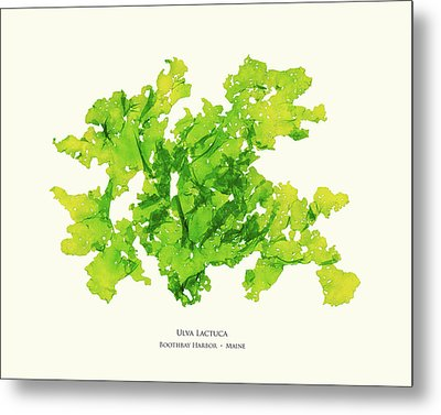 Pressed Seaweed Print, Ulva Lactuca, Boothbay Harbor, Maine. #33 Metal Print