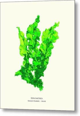 Pressed Seaweed Print, Ulva Lactuca, Sebasco Harbor, Maine. #30 Metal Print