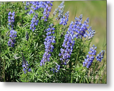 Pretty Blue Flowers Of Silky Lupine Metal Print by Louise Heusinkveld