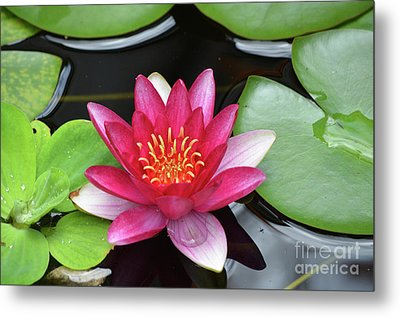 Pretty Red Water Lily Flowering In A Water Garden Metal Print