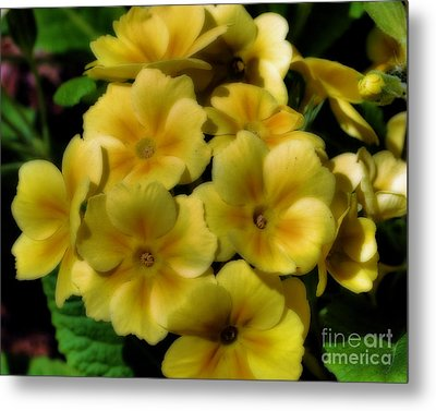 Metal Print featuring the photograph Pretty Yellow Primrose by Smilin Eyes  Treasures