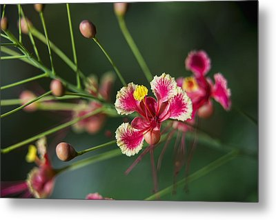 Pride Of Barbados  Caesalpinia Metal Print by F. M. Kearney