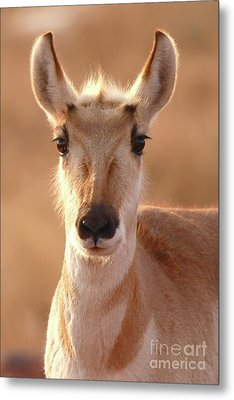 Pronghorn Antelope Doe In Soft Light Metal Print by Max Allen