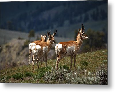 Pronghorns Metal Print