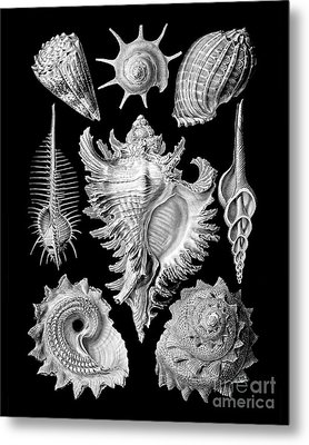 Prosobranchia, Vintage Sea Life Mollusca And Gastropods Illustration Metal Print by Tina Lavoie