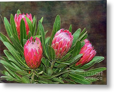 Metal Print featuring the photograph Proteas In Bloom By Kaye Menner by Kaye Menner