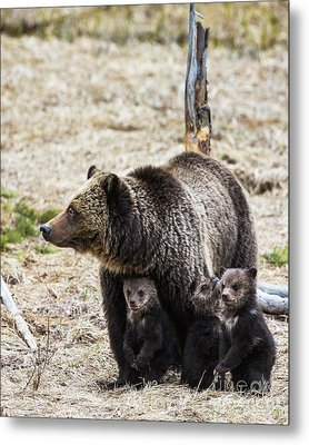 Protective Momma Grizzly Metal Print