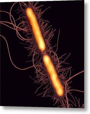 Proteus Vulgaris Bacteria, Sem Metal Print by Thomas Deerinck, Ncmir