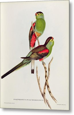 Psephotus Pulcherrimus Metal Print by John Gould