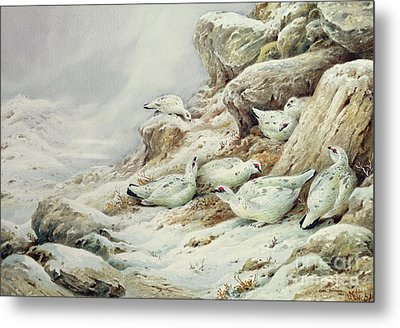 Ptarmigan In Snow Covered Landscape Metal Print by Carl Donner