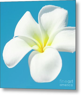 Metal Print featuring the photograph Pua Melia Pakahikahi by Sharon Mau