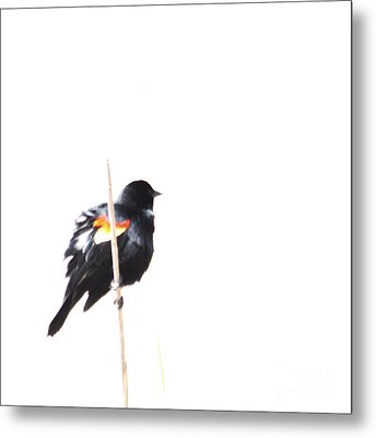 Puffed Up Red-winged Blackbird Metal Print
