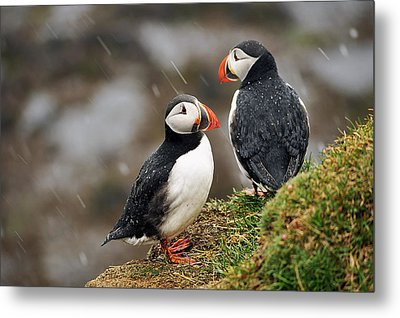 Puffin Couple Metal Print by Wixmo