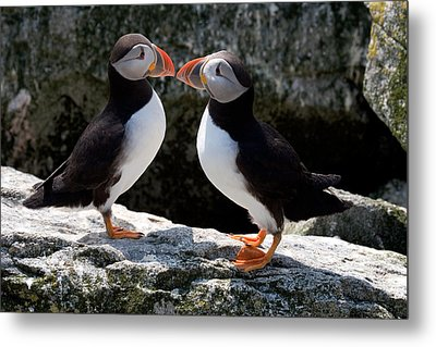 Puffin Love Metal Print by Brent L Ander