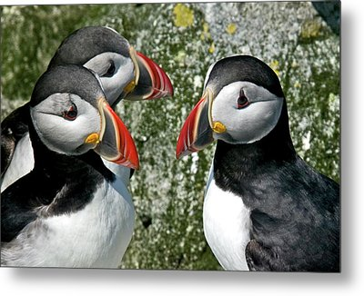 Puffins Together Metal Print