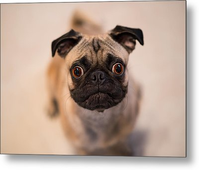 Metal Print featuring the photograph Pug Dog by Laura Fasulo