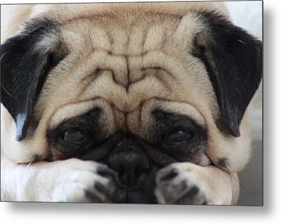 Pug Face Metal Print by Michael Albright