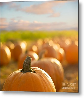 Pumpkin Patch Metal Print by Alissa Beth Photography