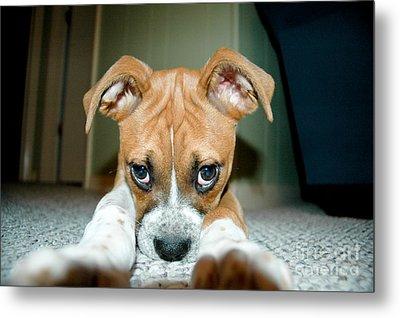 Puppie Dog Eyes Metal Print by Maureen Norcross
