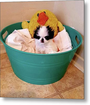 Puppy In A Bucket, Japanese Chin Metal Print