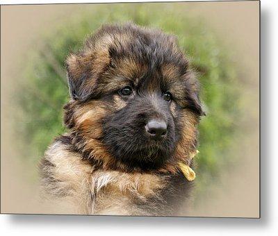 Puppy Portrait II Metal Print by Sandy Keeton