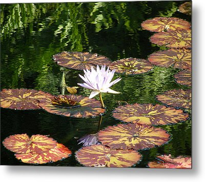 Metal Print featuring the photograph Pure Water Lily by Jeanette Oberholtzer