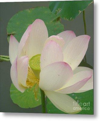Purity Of The Pink Lotus Metal Print by Renu Anne