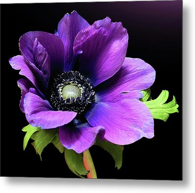 Purple Anemone Flower Metal Print by Gitpix