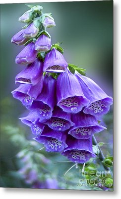Purple Bell Flowers Foxglove Flowering Stalk Metal Print by Carol F Austin