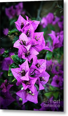 Metal Print featuring the photograph Purple Bougainvillea by Robert Bales