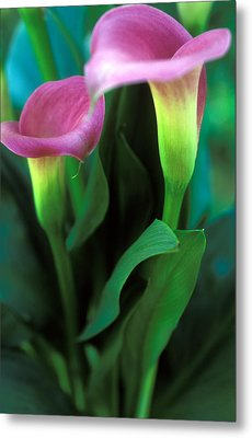 Purple Calla Duet Metal Print by Kathy Yates