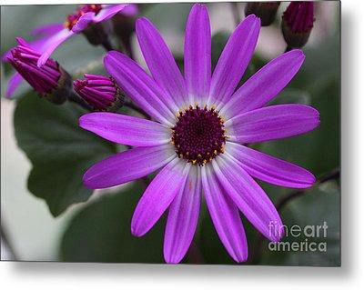 Purple Cineraria Flower And Buds 2016 Metal Print by Karen Adams