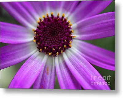 Purple Cineraria Flower Close-up 2016 Metal Print by Karen Adams