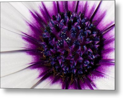Purple Color Burst Metal Print