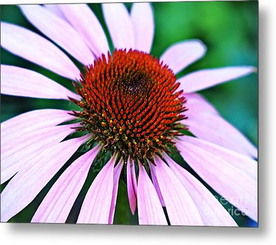 Purple Coneflower Close-up Metal Print by Gary Richards