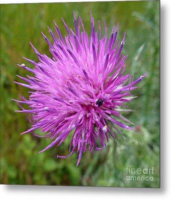 Purple Dandelions 2 Metal Print by Jean Bernard Roussilhe