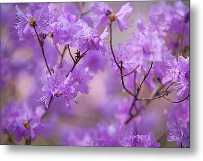 Metal Print featuring the photograph Purple Delight. Spring Watercolors by Jenny Rainbow