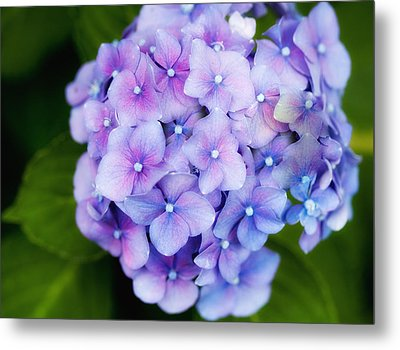 Purple Hydrangea Metal Print by Gina Cormier