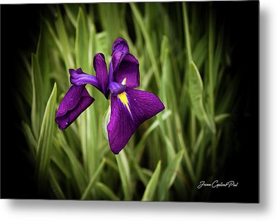 Metal Print featuring the photograph Purple Japanese Iris by Joann Copeland-Paul