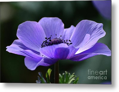 Purple Poppy Mona Lisa Metal Print