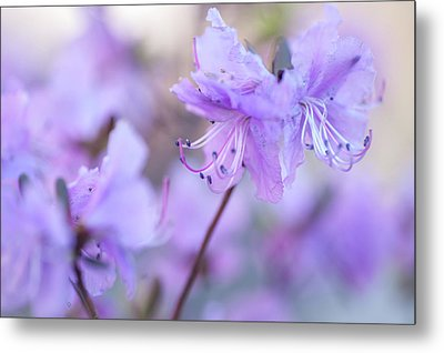Metal Print featuring the photograph Purple Rhododendron 1. Spring Watercolors by Jenny Rainbow