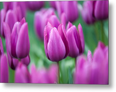 Purple Tulips Of Keukenhof Metal Print