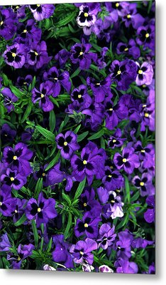 Metal Print featuring the photograph Purple Viola Flowers by Sally Weigand