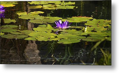 Purple Water Lilly Distortion Metal Print by Teresa Mucha