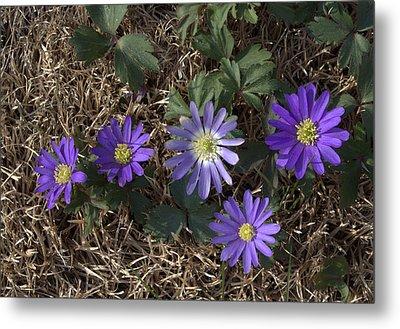 Purple Yard Flowers Metal Print by Liz Allyn